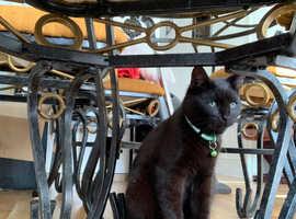 8months black kitten