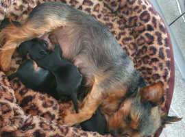 (SOLD)  Mini Yorkshire terriers