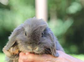 Very Cut Dwarf Mini Lop Rabbit