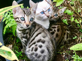 Last 2 Pedigree Snow & Brown Spotted Kittens