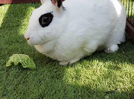 For sale rabbit