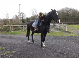 16.1hh older gelding companion/light riding home