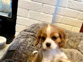 Female cavalier King Charles puppy