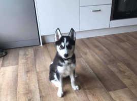 16 week husky