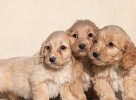 Lovely litter of Cockapoo's