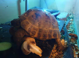 5year ish male med horsefield tortoise for sale