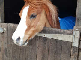 Welsh mountain section A pony