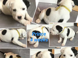 Dalmatian puppies for sale 4 weeks old