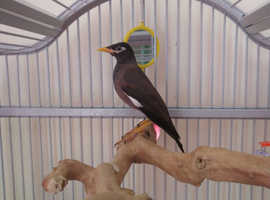 Mynah common bird DNA Sexed papers