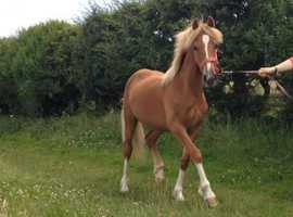 Welsh Cob Filly