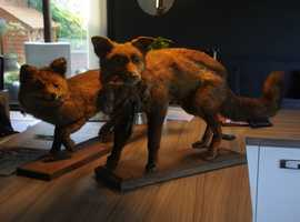 Two antique taxidermy Fox Vixens.
