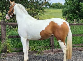 2 Year old, skewbald filly, sports pony for sale