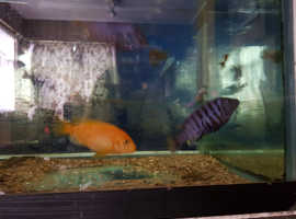Malawi cichlids for sale. URGENT!