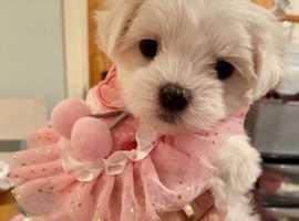 Beautiful Maltese Pups