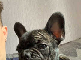 10 week old french bulldogs 1 male 1 female