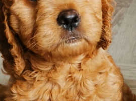 Toy Goldendoodle boys