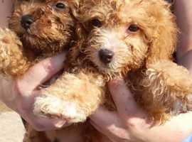 Poochon puppies Ready now