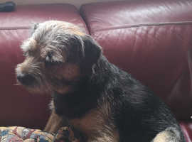 Border terriers for stud