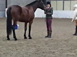 4yo part bred welsh mare