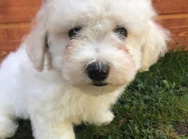 Bichon frise for rehoming