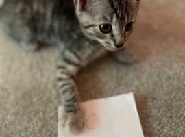 Last remaining tabby kitten