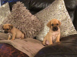 Puggle pups 8 weeks old ready now