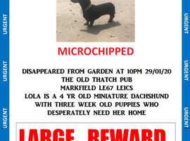 Stolen miniature dachshund Lola