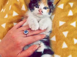 Stunning ragdoll x kittens
