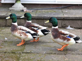 3 Miniature Appleyard Males for sale 1 Year old