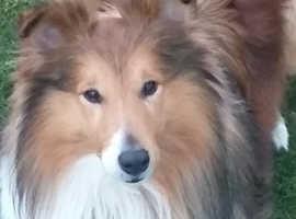 Sheltie / Shetland sheepdog for Stud