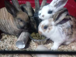 Beautiful baby bunnies for sale