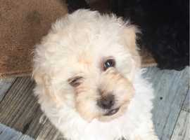 Find Jackapoo Dogs (Jack Russell Terrier cross Poodle) For