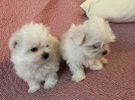 Tiny KC reg Maltese puppies
