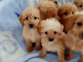 Stunning F1 Toy Labradoodle Puppies For Sale