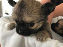 Pom-chi puppies