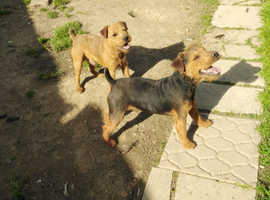 Lakeland terrier for sud only