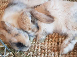 Gorgeous baby mini lops