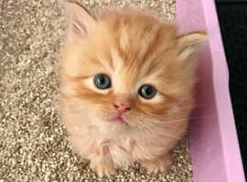 3 LEFT Vaccinated FLUFFY PERSIAN KITTENS Ragdoll Manchester