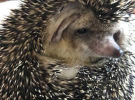 Cute Egyptian Long Eared Hedgehogs