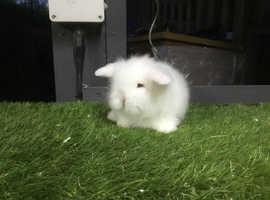 White double mane mini lion lop baby rabbit girl