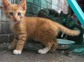 3ginger kittens for sale