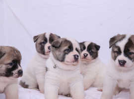 Chunky Japanese Akita puppy puppies *REDUCED*