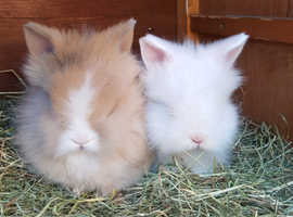 Dm lionheads ready now