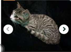 Tabby female kitten