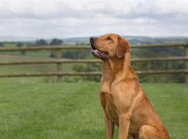 Fox Red Labrador Proven Stud Dog