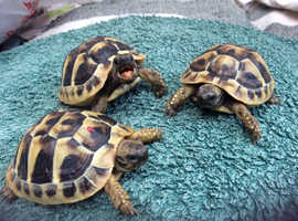 Beautiful home bred hermanns tortoise hatchlings