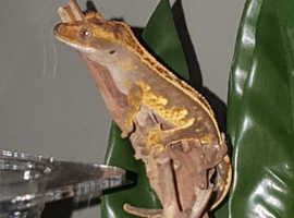 Crested Gecko and complete set up