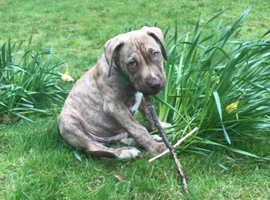 Beautiful rare presa canario puppy