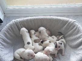 Pure breed american bulldogs