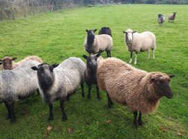 For Sale Pedigree Shetland ewes £55